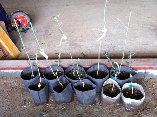 植樹を待つ苗木